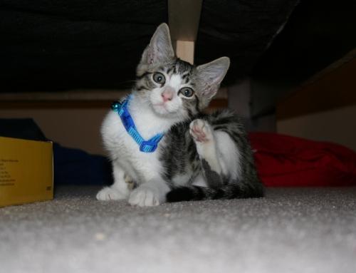 Is Cat Dandruff A Serious Problem?